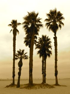 #palm #trees of Santa Monica (photographer Jane Mitchell)