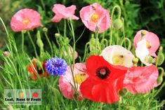 Attracting pollinators into the garden with poppies and other companion flowering plants - Leaf, Root & Fruit Gardening Services Hawthorn
