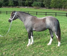 Bellingara Chanel - Grey Welsh Section A Pony Filly. Sire: Snowdon Vale Peter Pan. Dam: Osory Clemency (Sire of Dam: Weston Park Talisman). DOB: 05/11/2010. Photo by Bellingara Stud.