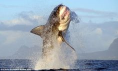 Animal Discoveries: Man Chased by Hippo, Flying Great White Shark
