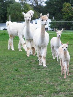 Understanding the cost of caring for alpacas and the sell of fiber.