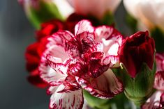 Como cuidar da planta de cravo. Os cravos são uma das flores mais comuns e usadas como decoração em uma infinidade de casas e jardins, já que são muito chamativas e, além disso, precisam de poucos cuidados para crescerem corretament...