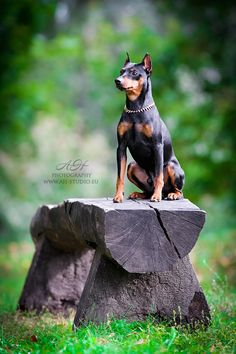 """Awesome """"miniature pinscher"""" detail is readily available on our internet site. Take a look and you wont be sorry you did. Miniature Doberman Pinscher, Doberman Pinscher Puppy, Mini Pinscher, Beagle, Corgi, Akita, Prager Rattler, Pincher Dog, Animals And Pets"""