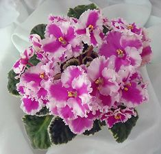 African Violet 'Pink Satin Pillow' is another lovely ruffled pink chimera.