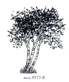 Birch tree meanings include new beginnings and cleansing of the past.