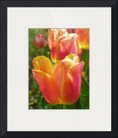 """""""Tulip Spring Flower"""" by Capturing Nature,  // Tulip Spring Flower // Imagekind.com -- Buy stunning fine art prints, framed prints and canvas prints directly from independent working artists and photographers."""