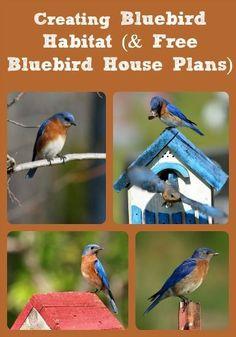 Creating Bluebird Habitat (u0026 Free Bluebird House Plans)