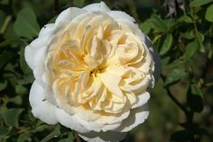 Crocus Rose - Ludwigs Roses | Clusters of creamy blooms produced freely. Tea rose scent. Good bushy habit, forming an elegant shrub. David Austin Roses, Types Of Flowers, Tea Roses, Begonia, Clematis, Shrubs, Color Mixing, Orchids, Bloom