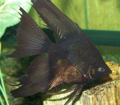 dammen av fisk dating LeMel Humes dating