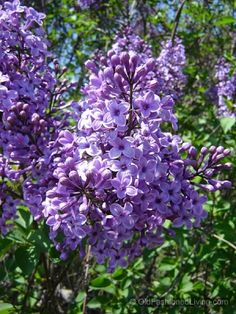 Lilacs in the Spring, tips from #oldfashionedliving
