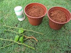 Growing mulberry plants from cuttings Mulberry Plant, Mulberry Bush, Grafting Plants, Plant Cuttings, Fruit Trees, Diy Food, Garden Projects, Garden Pots, Planting