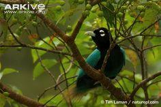 bird of paradise | Blue bird-of-paradise (Paradisaea rudolphi)