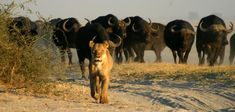 Explore Victoria Falls and Chobe on this adventure safari. Spend your time exploring Victoria Falls, the highlights, Chobe River & Chobe National Park. Chobe National Park, National Park Camping, National Parks, White River Rafting, Herd Of Elephants, Boat Hire, Cruise Boat, Victoria Falls, Bungee Jumping