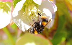 20% of the proceeds will support the Bumble Bee Conservation Trust