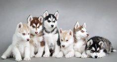 perros husky en Finlandia