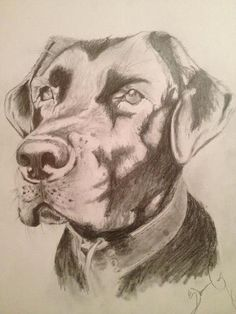Drawing by Shauna of MacKenzie..Our prized Labrador...