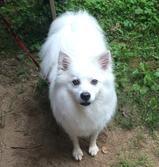 About Us - Our Mascots  Maverick, American Eskimo  #Mascot #FamilyInnovators #AmericanEskimo #Dog #Maverick #ScrubOnTheRun