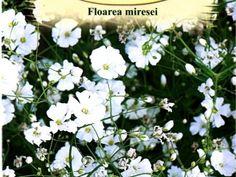 SzentesiMag | Egynyári fátyolvirág, fehér vetőmag rendelés Plants, Plant, Planets