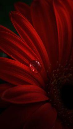 Red gerbera, petals, water drops