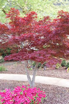 Japanese Red Maple Care Facts and Growing Tips