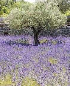 Olive Tree Landscape Lavender Fields Ideas For 2019 Lavender Garden, Lavender Fields, Lavender Blue, Landscape Design, Garden Design, Garden Trees, Fruit Garden, Flowers Garden, Olive Tree
