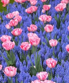 Muscari armeniacum - Muscari - Fall 2014 Flower Bulbs