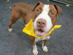 TO BE DESTROYED - 09/15/14 Manhattan Center -P  My name is MCCALL. My Animal ID # is A1013255. I am a male brown and white pit bull mix. The shelter thinks I am about 6 YEARS old.  **IN MEMORY OF THOSE THAT DIED, $150 DONATION TO THE NEW HOPE RESCUE THAT PULLS**  I came in the shelter as a STRAY on 09/06/2014 from NY 11216, owner surrender reason stated was STRAY.…
