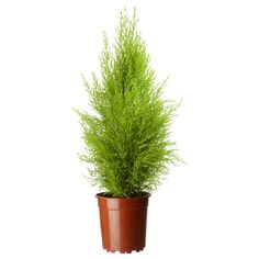 CUPRESSUS MACROCARPA Растение в горшке - IKEA