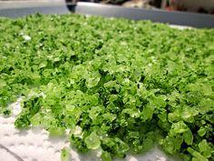 Bärlauch - Salz, ein schmackhaftes Rezept aus der Kategorie Frühling. Bewertungen: 63. Durchschnitt: Ø 4,6.