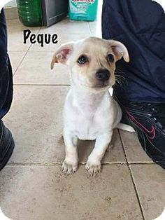 Vancouver, BC - Chihuahua/Maltese Mix. Meet Peque, a puppy for adoption. http://www.adoptapet.com/pet/14348360-vancouver-british-columbia-chihuahua-mix