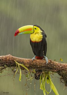 keel-billed toucan by Christian Sanchez on 500px