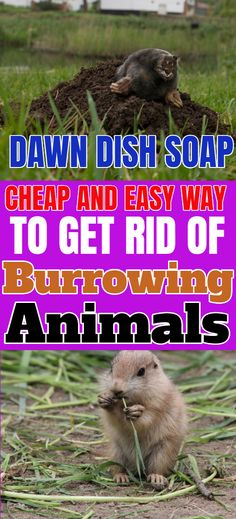 Get rid of moles and other burrowing animals with dawn dish soap. It is one of the more cost-effective methods and you don't end up with dead animals in your yard. Garden Yard Ideas, Lawn And Garden, Garden Projects, Outdoor Projects, Outdoor Ideas, Moles In Yard, Get Rid Of Groundhogs, Getting Rid Of Gophers, Dawn Dish Soap