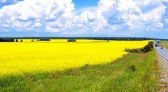 Лето. Во-первых, это красиво. И это моя Родина.  .  . #южныйурал #chelyabinsk #russia #челябинск #chel #Че #суровыйЧелябинск #ural #фото #photo #россия #урал #лето #желтый #цветы
