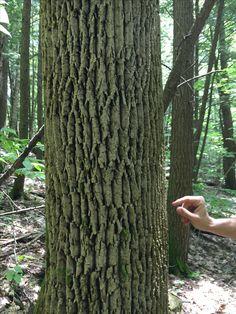 Elm Tree Bark Photo Of American Elm Trunk Close Up Identification Photo Of Elm Wood Elm Trees