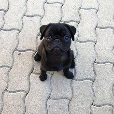 """10 ezer kedvelés, 120 hozzászólás – Pugs (@pugs) Instagram-hozzászólása: """"This is my """"carry me"""" face 🤗💕"""""""