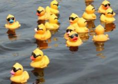 ducks with shades
