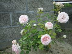 ピエール・ドゥ・ロンサールの一番花と今頃バラ苗の大人買い の画像 愛しさとバラとリネンとクロスステッチと