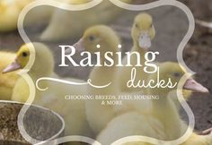 Domestic ducks provide excellent meat and eggs and are a great means of natural pest control for your garden. Find out how to get started with this multipurpose livestock.