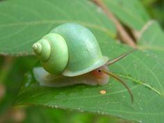 soft green snail