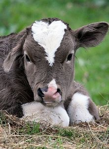 This is for you Katie L. This is the baby cow you need for your new house! He would be cute in your back yard.