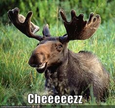 I have this irrational love for moose! They're ridiculous looking and I love it lol