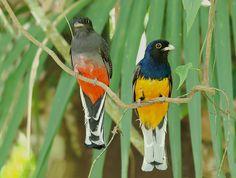 surucuá-variado (Trogon surrucura) por Ricardo Gentil | Wiki Aves - A Enciclopédia das Aves do Brasil