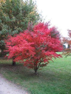 Acer Trees, Deciduous Trees, Flowering Trees, Acer Palmatum, Ficus, Hello Hello Plants, Safari, Specimen Trees, Palmiers