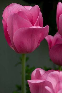 Pink Tulip Flowers For You, Wonderful Picture, Pink Tulips, Flower Pictures, Sketches, Rose, Plants, Flowers, Drawings