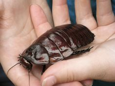 http://c2.likes-media.com/img/65130141c00751c24039a4b96312e24d.600x  #4 Burrowing Cockroach  When it comes to common insects, we all know that the Australian species seems to be larger, weirder or scarier. This Australian Burrowing Cockroach can be almost as big as a human hand! So if you get a little queasy thinking about a standard-sized cockroach, then you might want to try and avoid this one altogether!
