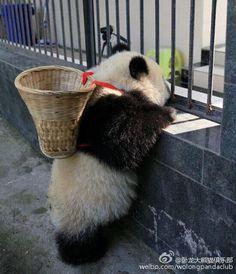 I am the Easter Panda. I am the Easter Panda. Pretty Animals, Cute Funny Animals, Cute Baby Animals, Animals Beautiful, Wild Animals, Panda Love, Cute Panda, Cãezinhos Bulldog, Panda Mignon