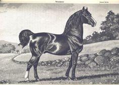 Woodbury Morgan Son of Justin Morgan Pony Breeds, Horse Breeds, All The Pretty Horses, Beautiful Horses, Horse Facts, Horse Illustration, Morgan Horse, Horse Saddles, Horse Love