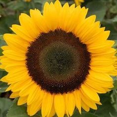 SUNRICH ORANGE SUMMER Sunflower Seeds Essentially an improved Sunrich Orange, blooming 5-10 days earlier and growing about 6 inches shorter. Day-length neutral 4.5 foot plants sport 5-6 inch blooms which are superb for cut-flower production. 50-60 days to maturity.