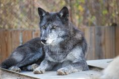 BLUE WOLF | Blue Wolf by ManitouWolf
