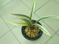 """Cymbidium sinensis """"Bodhidharma"""" - Orchid Forum by The Orchid Source"""